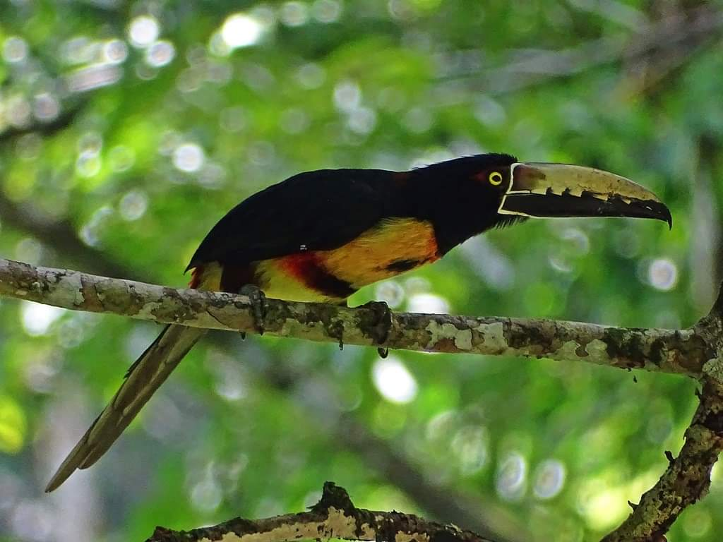 Where to watch birds in panama