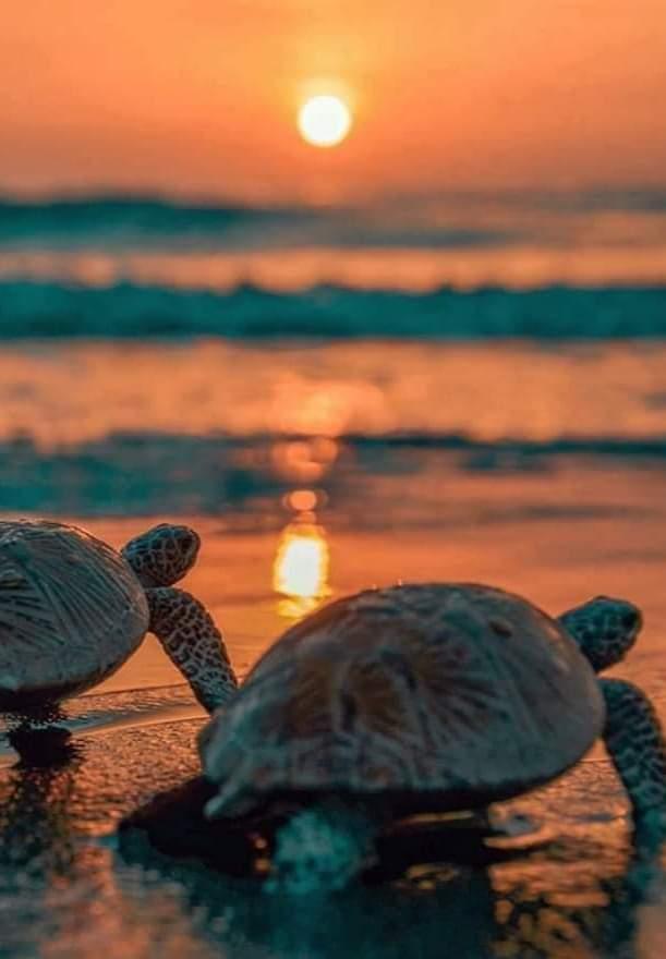 Turtle San-Blas Panama
